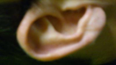 De quien es la oreja?